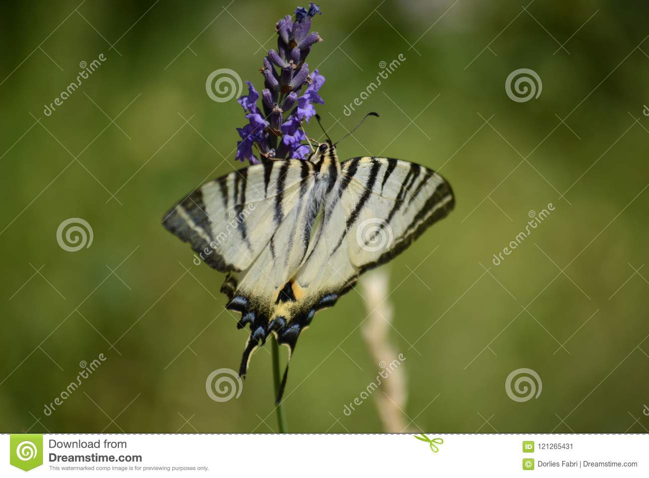 Blac-white butterfly Butterfly on lavender