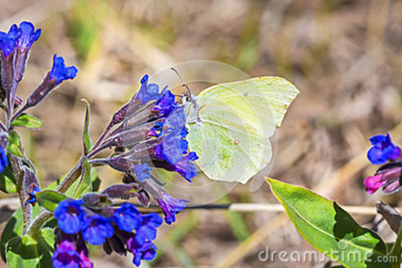 Butterfly Gonepteryx, the plant Pulmonaria dacica Simonk