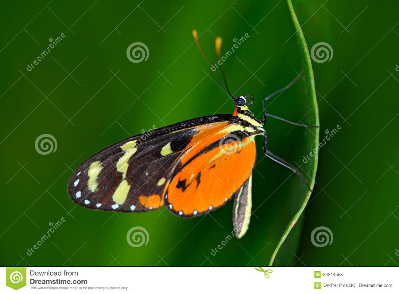 Butterfly Heliconius Hacale zuleikas, in nature habitat. Nice insect from Costa Rica in the green forest. Butterfly sitting on the
