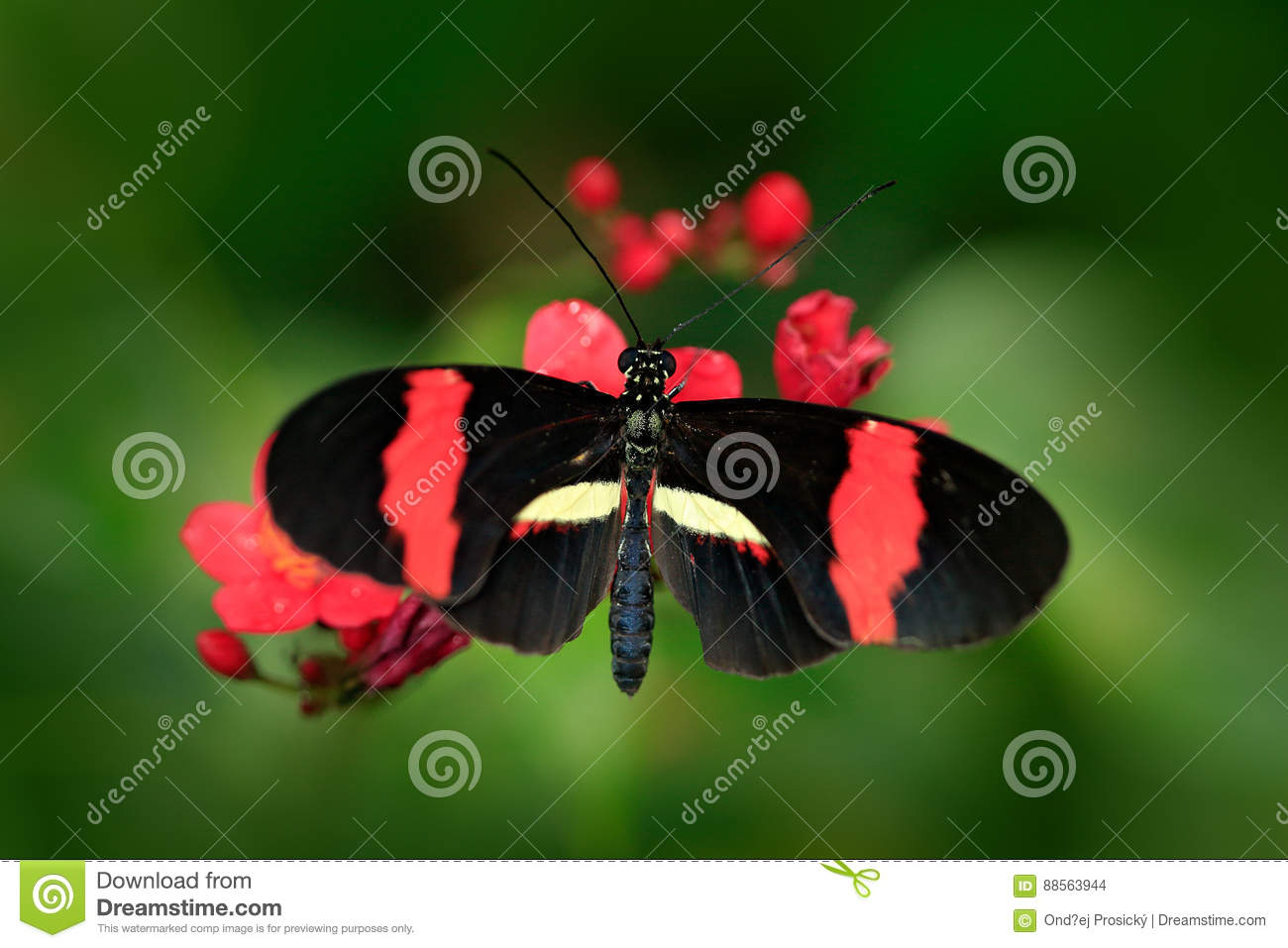 Butterfly Heliconius melpomene, in nature habitat. Nice insect from Costa Rica in the green forest. Butterfly sitting on the leave
