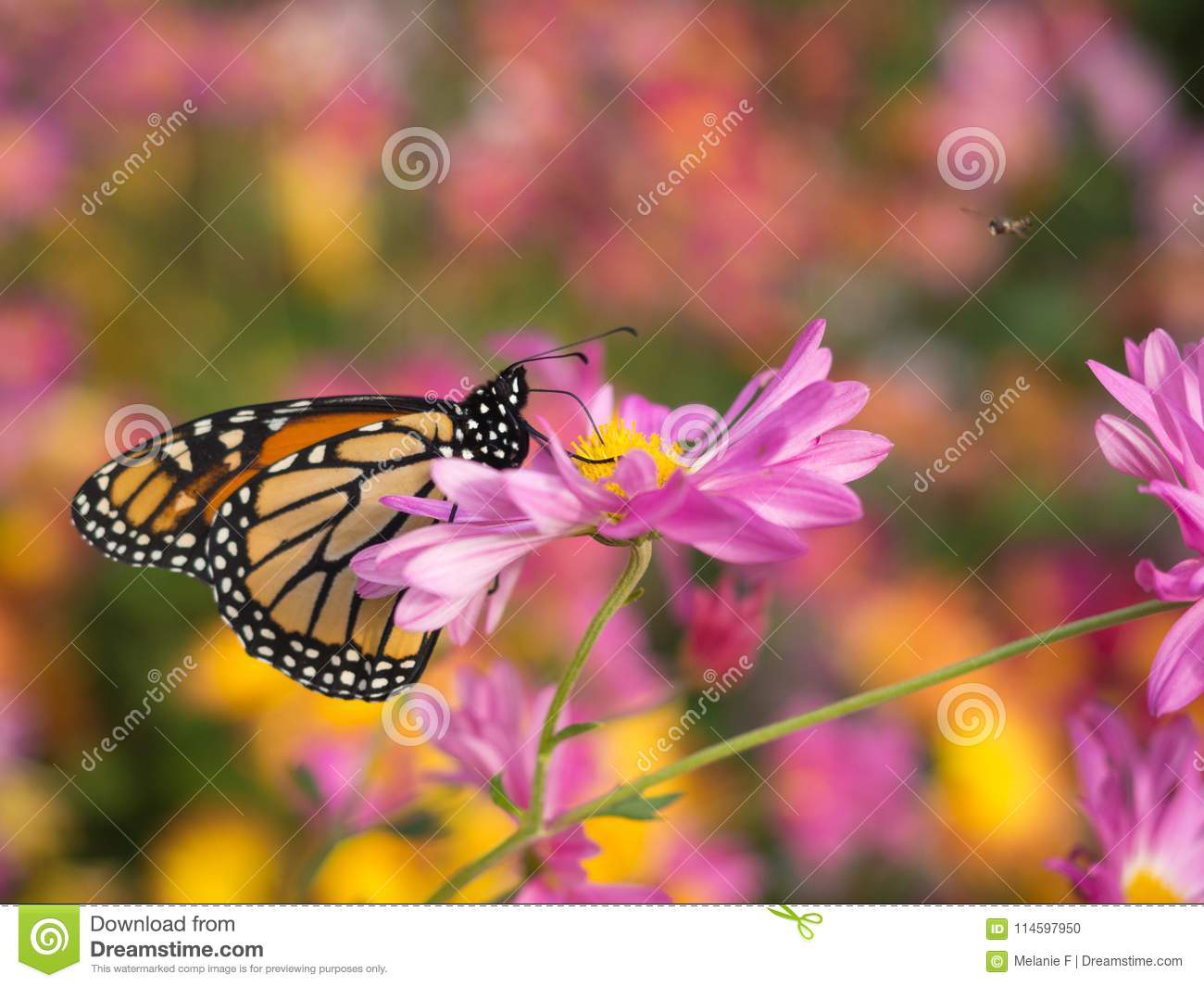 Profile of a beautiful butterfly on a pink chrysanthemum flower download profile of a beautiful butterfly on a pink chrysanthemum flower stock photo image of izmirmasajfo