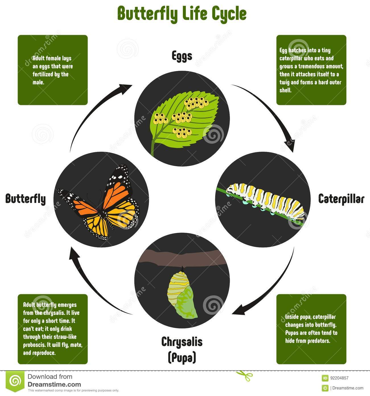 download butterfly life cycle diagram stock vector illustration of moth lifespan 92204857