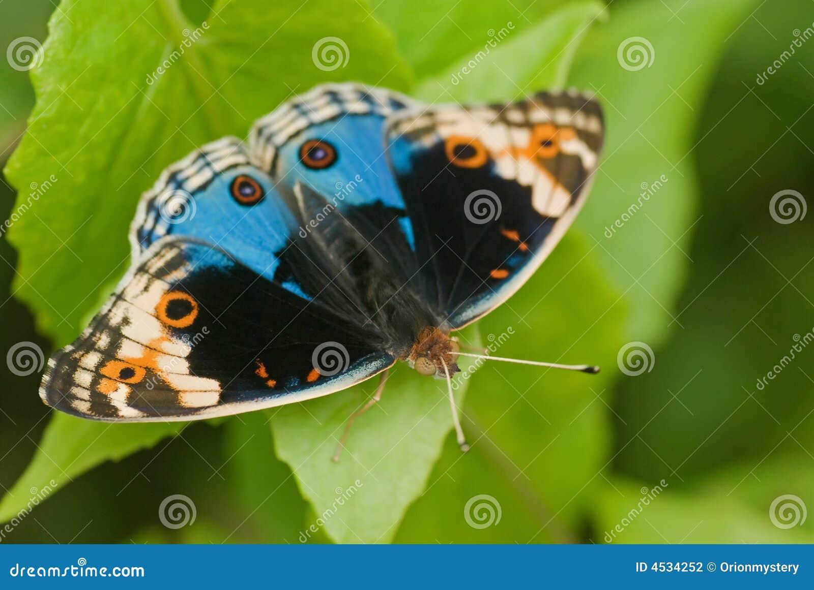 Butterfly Macro Stoc