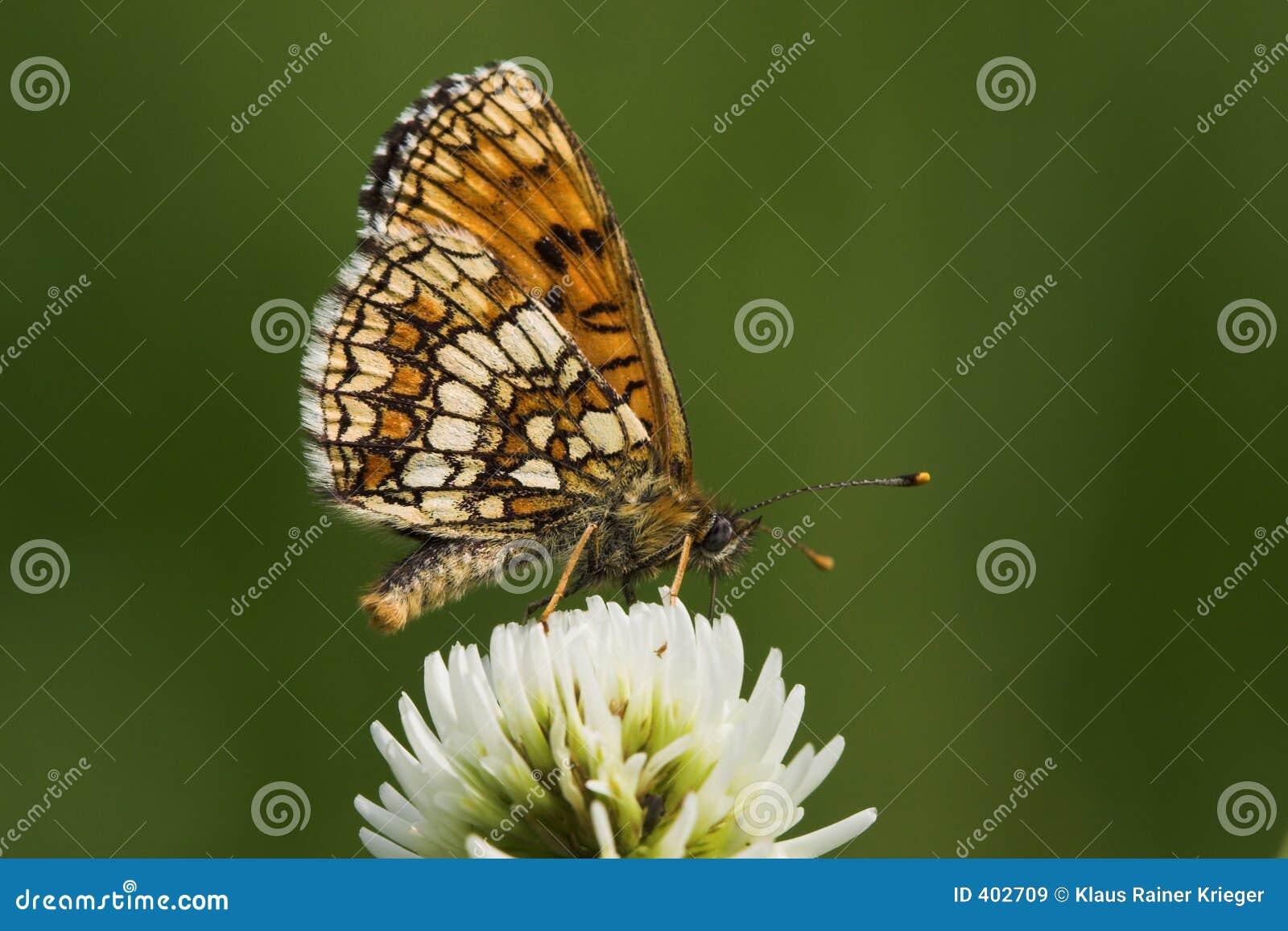 Butterfly (melitaea athalia)