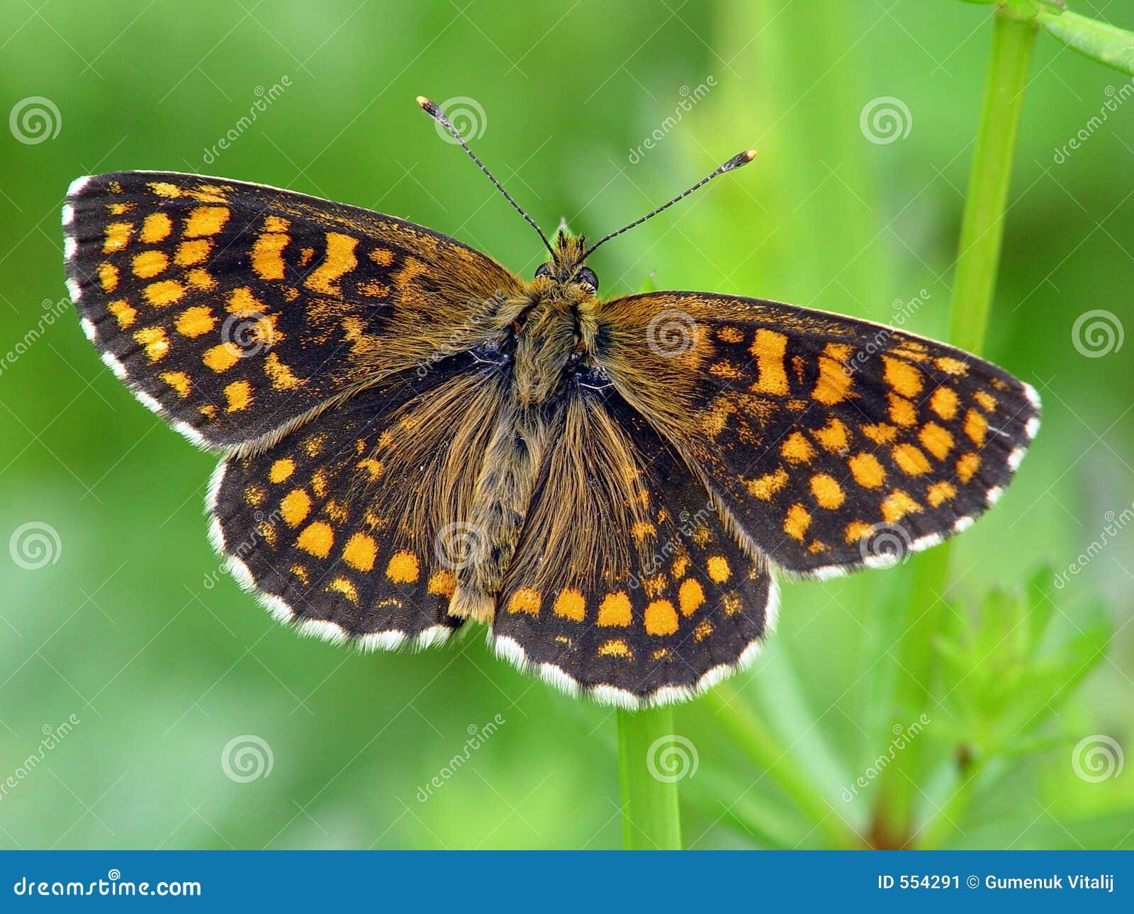 Butterfly Melitaea athalia.