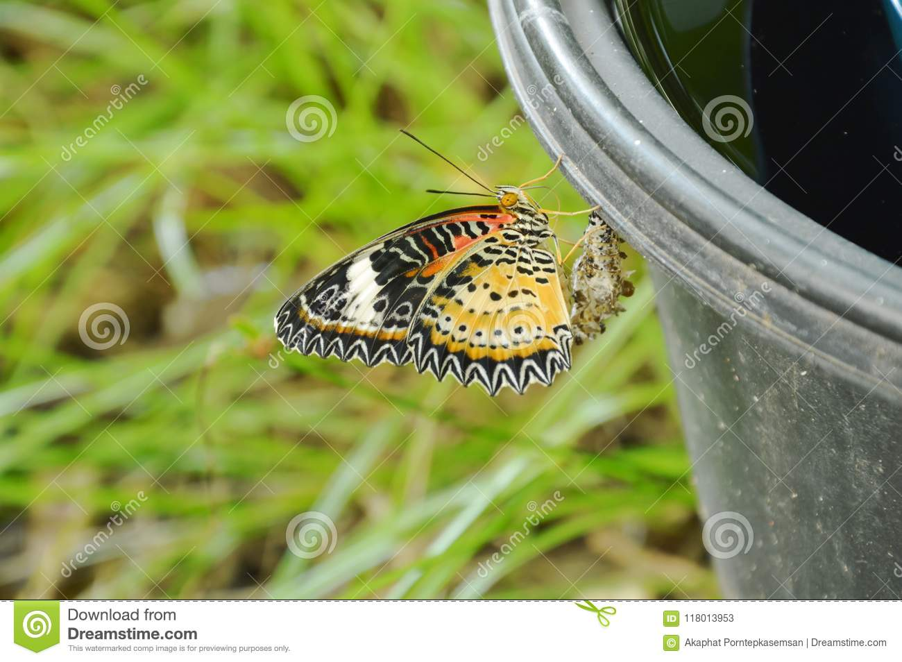 Butterfly Metamorphosis From Cocoon And Climbing On Black Plastic Bin  Prepare To Flying In Garden