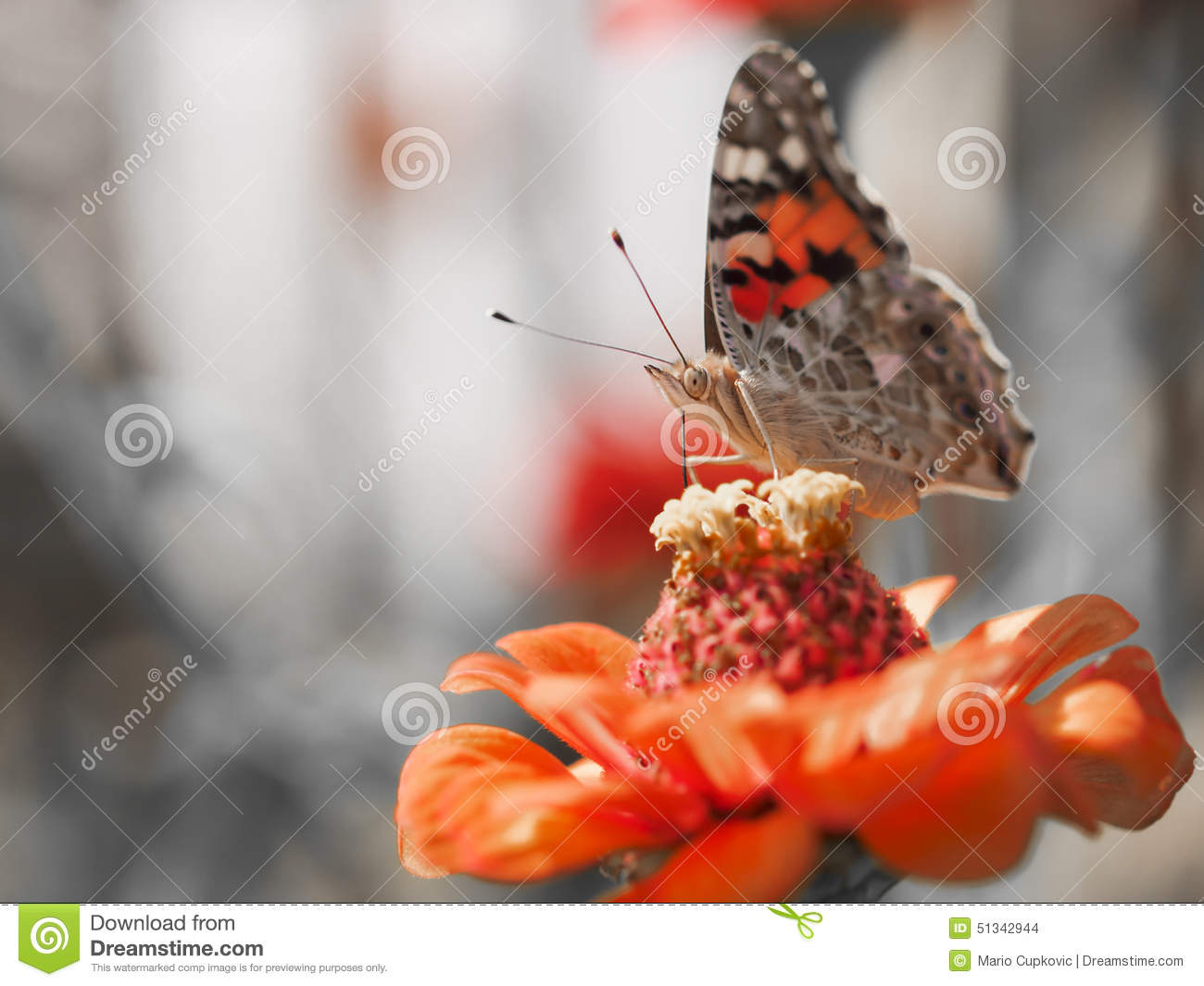 Download Butterfly stock photo. Image of feeding, grass, affectionate - 51342944