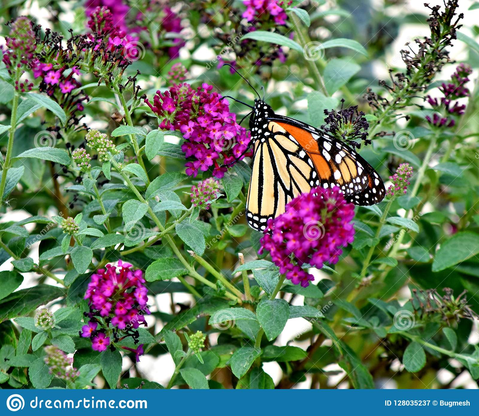 Butterfly, Monarch, Migrating South to Oklahoma City