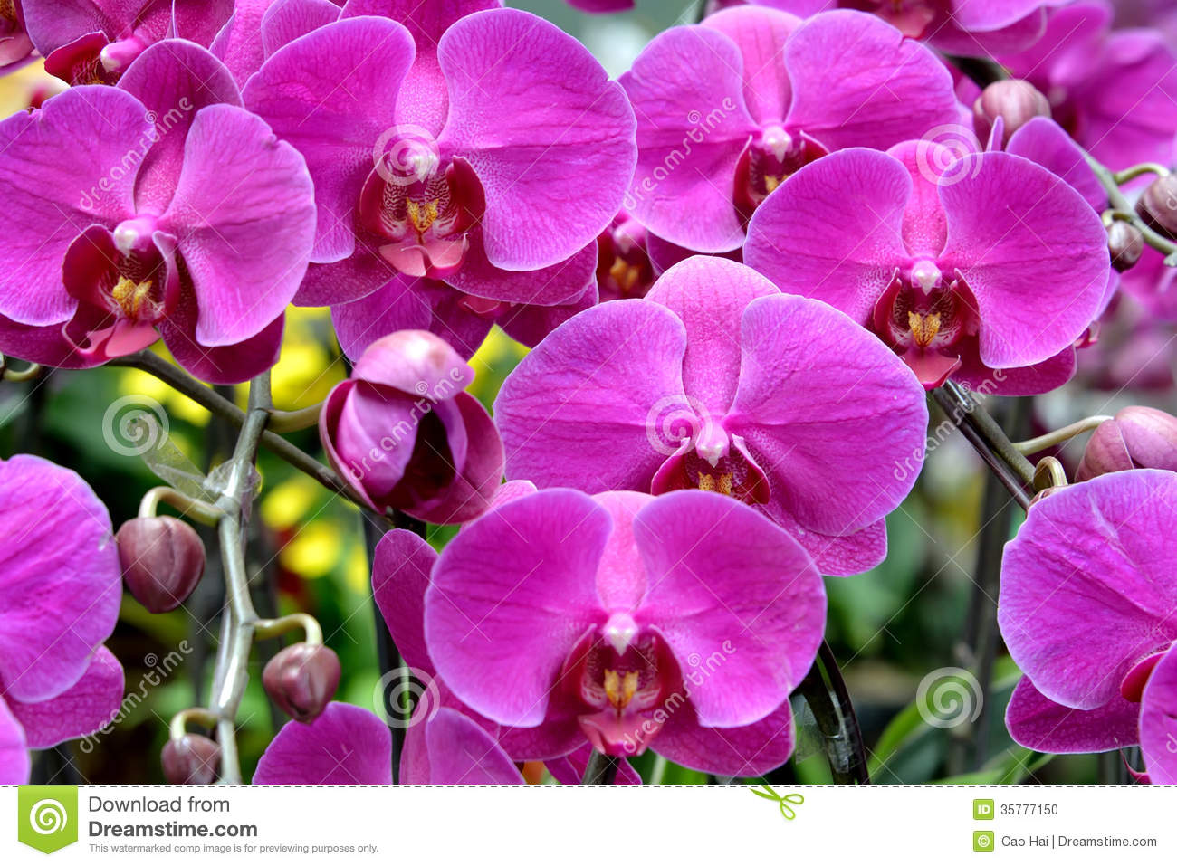 Butterfly Orchid In Light Red Purple Stock Photo - Image: 35777150