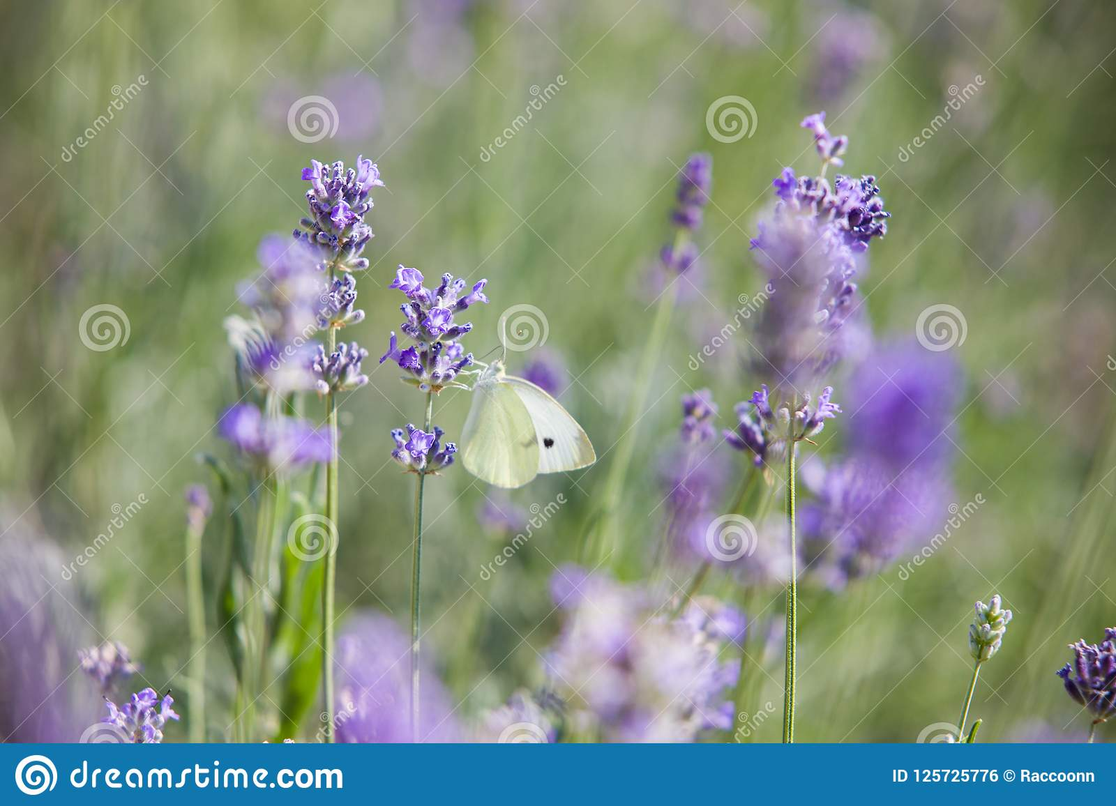 Butterfly over lavender flowers.