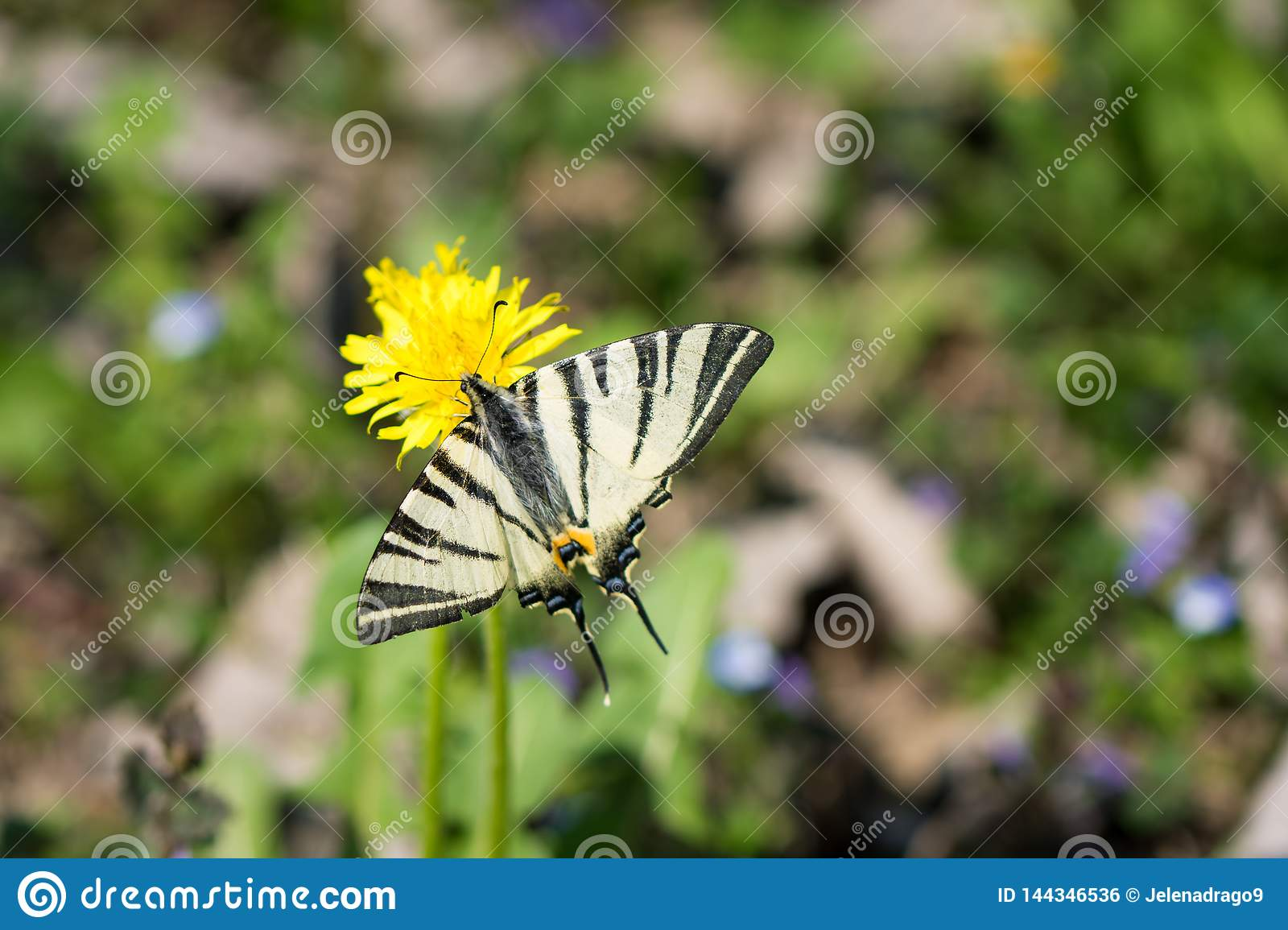 Butterfly Papilio machaon, common white swallowtail standing on yellow flower.