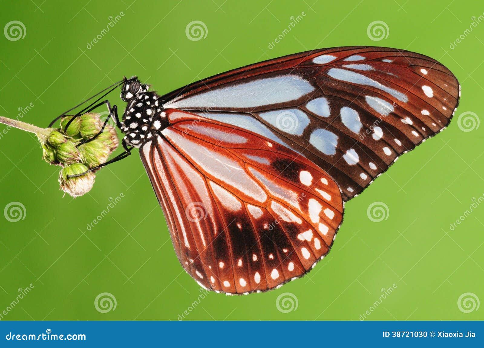 Tìm hiểu Bướm - Page 20 Butterfly-parantica-swinhoei-underside-wings-cyan-brown-38721030
