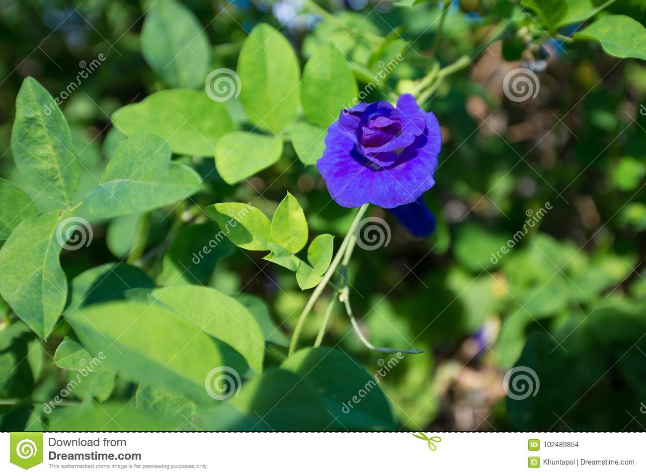 Butterfly pea or blue pea vine flower stock photo image of food butterfly pea or blue pea vine flower izmirmasajfo Images