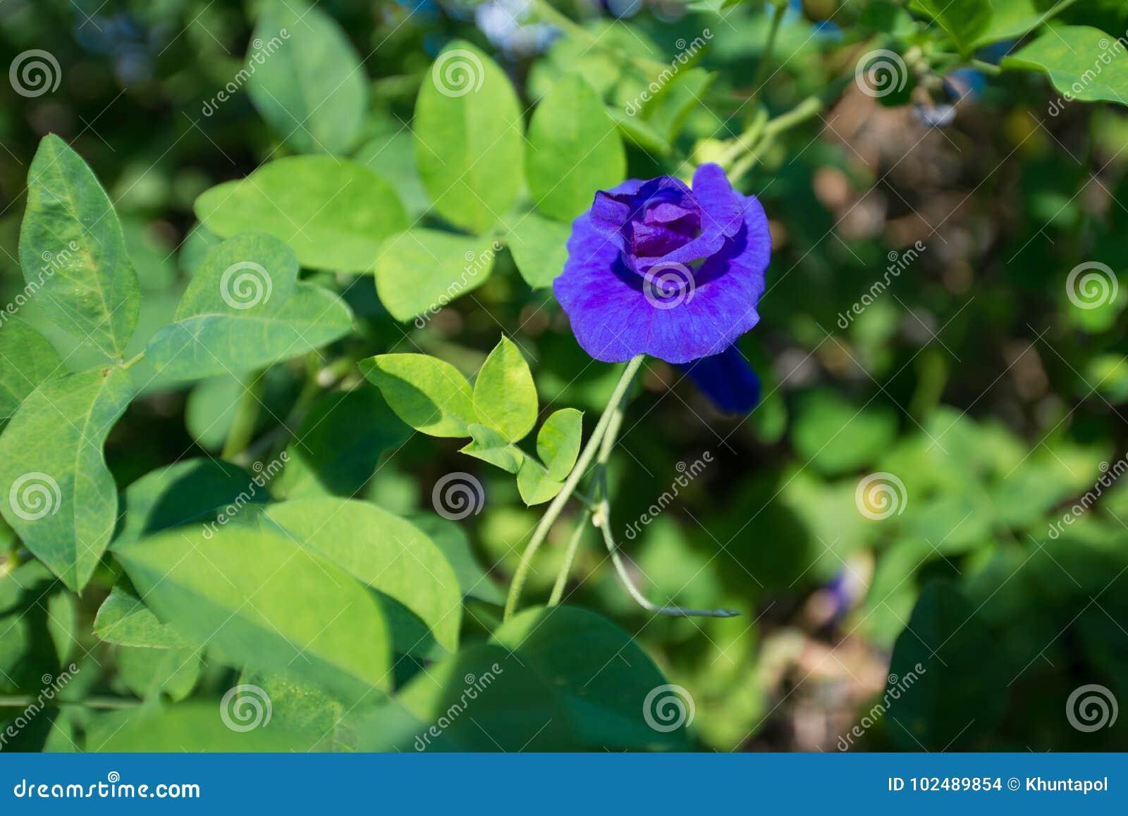 Butterfly pea or blue pea vine flower stock photo image of food download butterfly pea or blue pea vine flower stock photo image of food flower izmirmasajfo