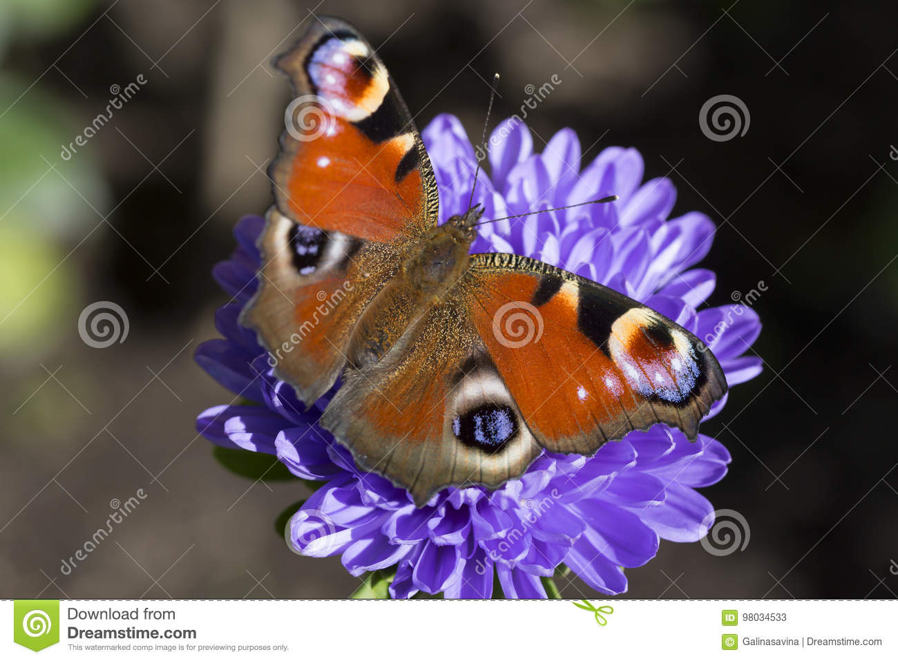 The Butterfly Of Peacock Eye On The Aster Lilac Stock
