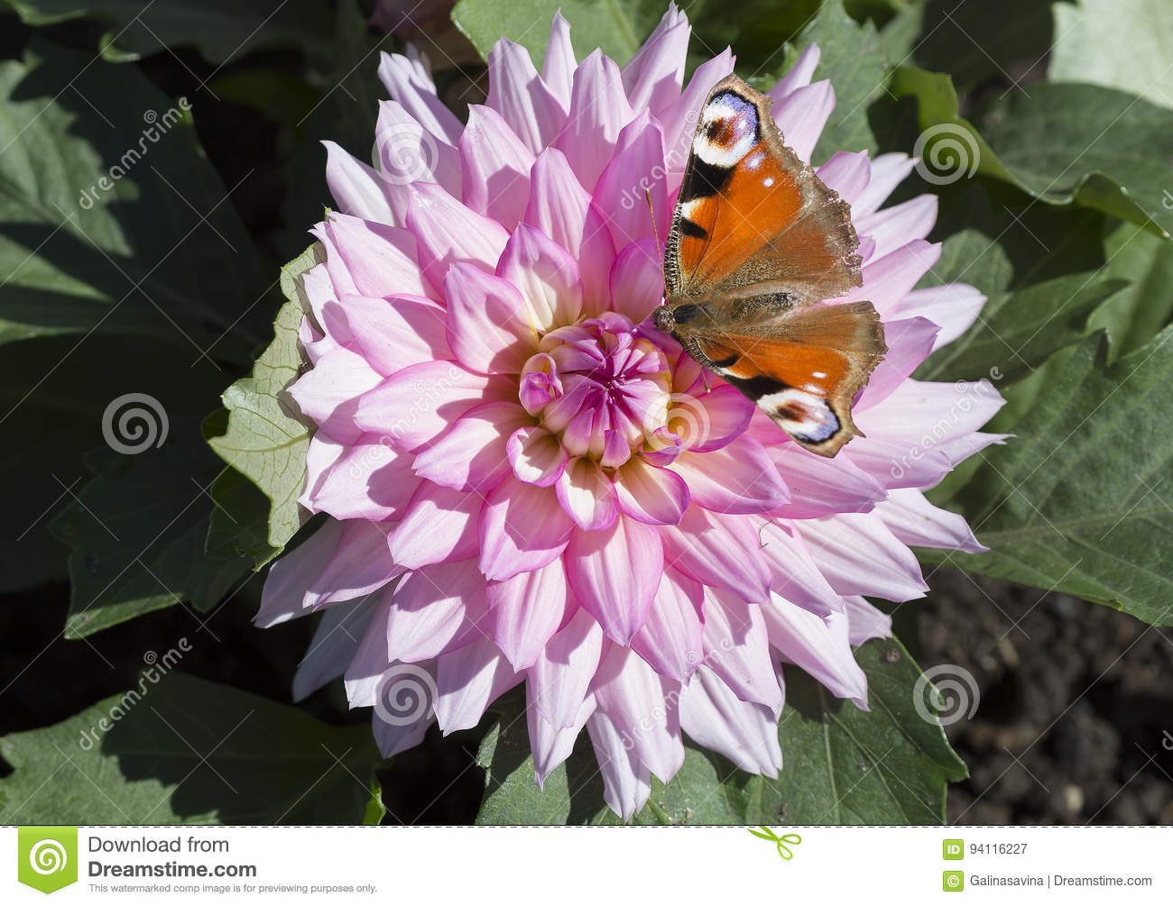 The Butterfly Of Peacock Eye On A Flower Of Pink Dahlia