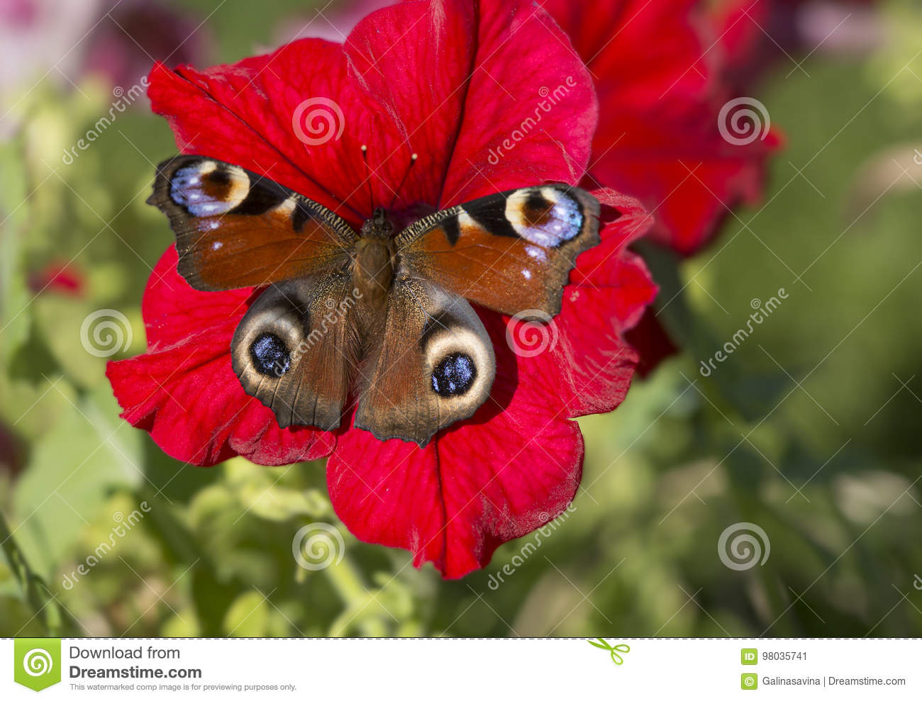 The Butterfly Of Peacock Eye On The Petunia Flower Stock