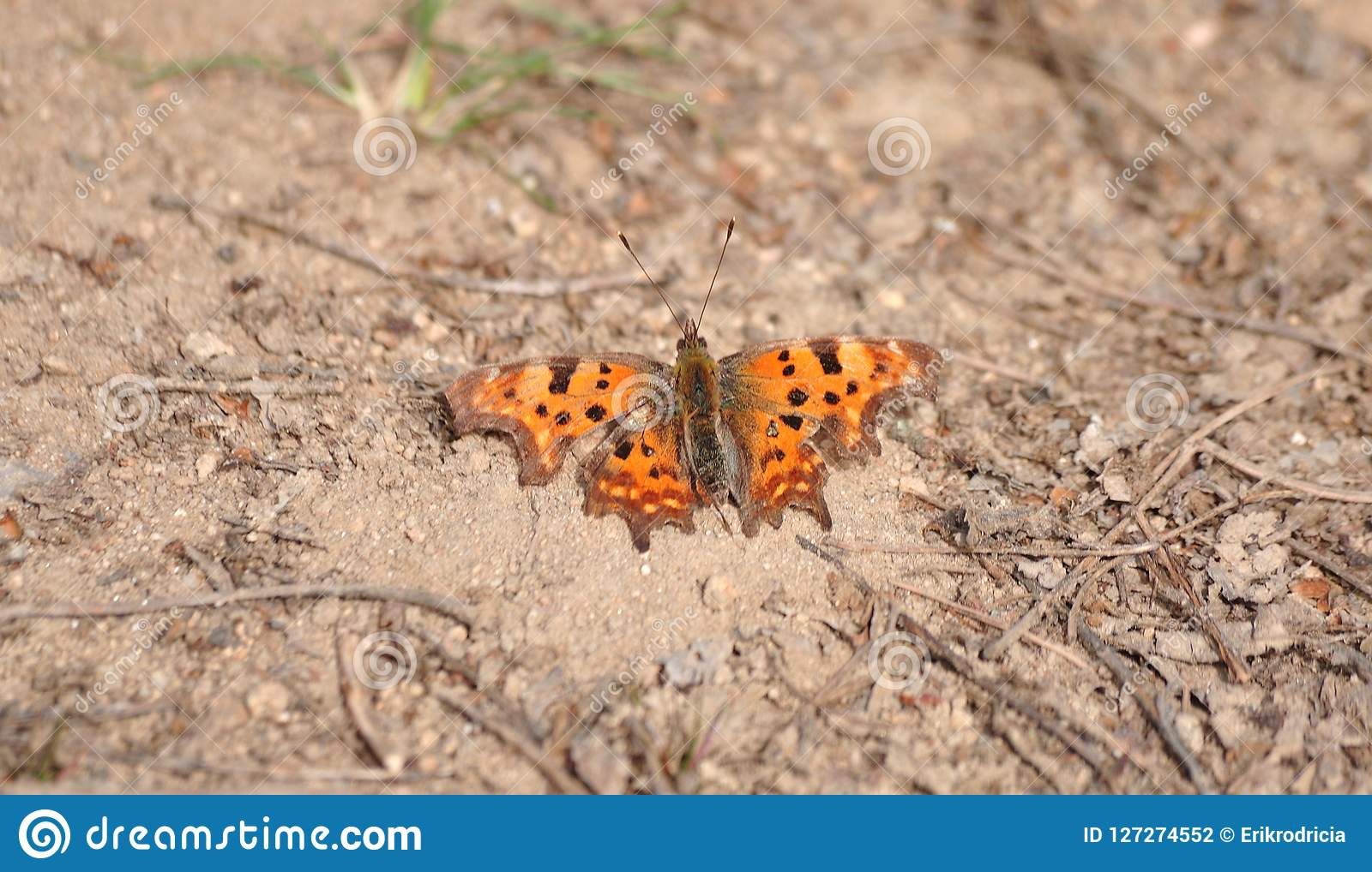 Butterfly Polygonia c-album warms the body