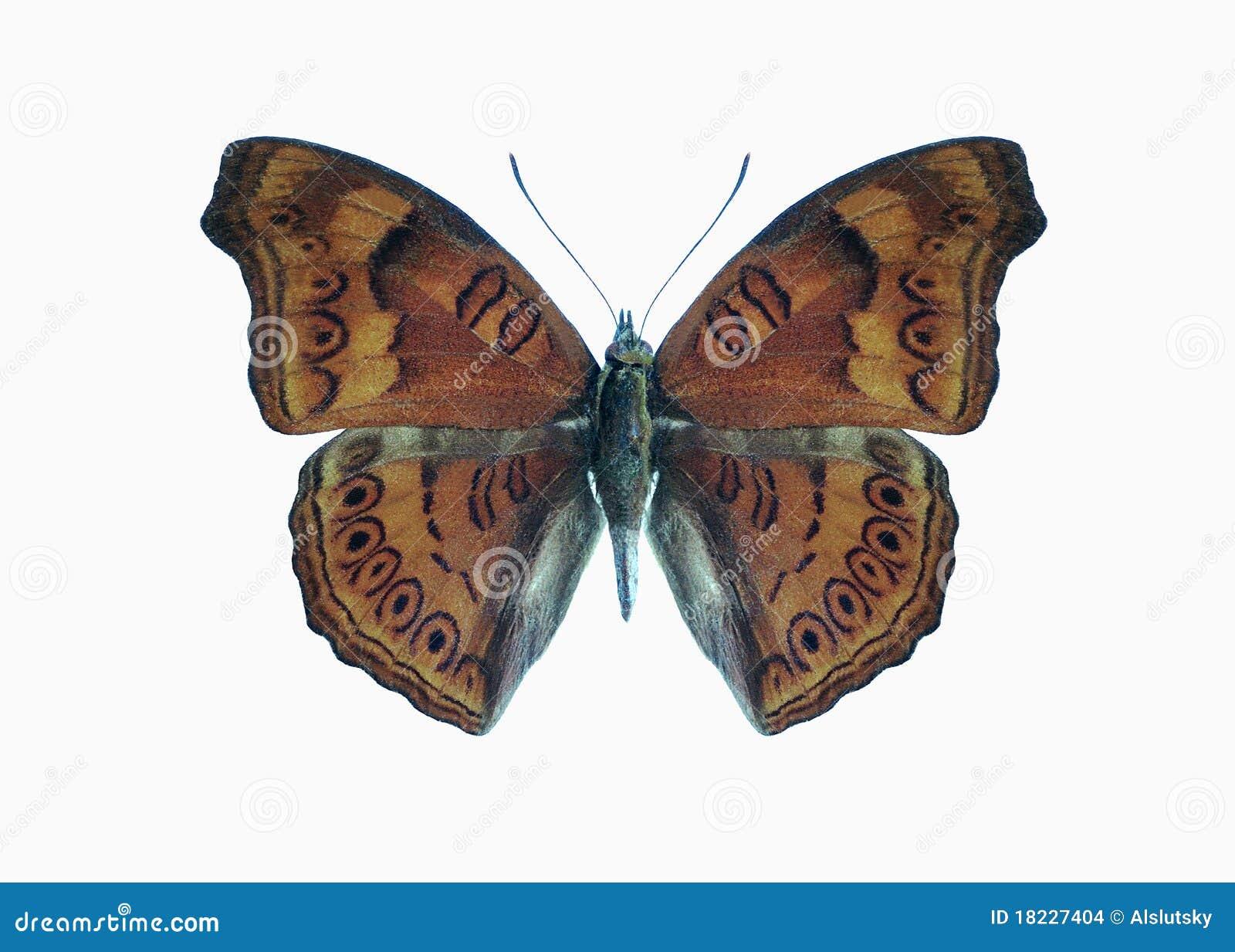 Butterfly Precis (Junonia) hedonia