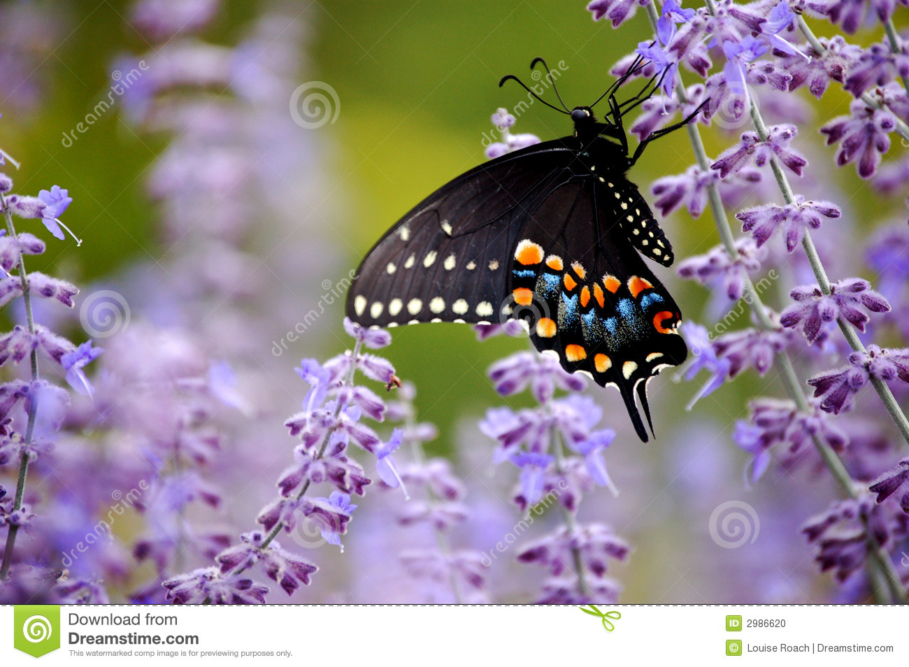 Download Butterfly With Purple Flowers Stock Photo - Image of russian, beautiful: 2986620