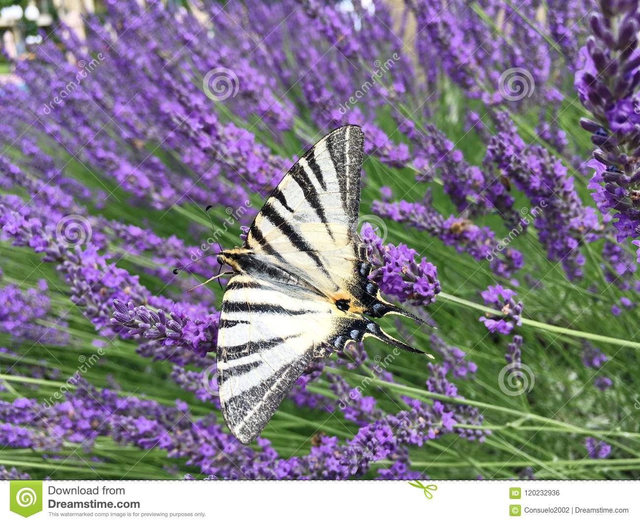 Butterfly Sailboat Striped Sit On A Flower Of Purple Lavender