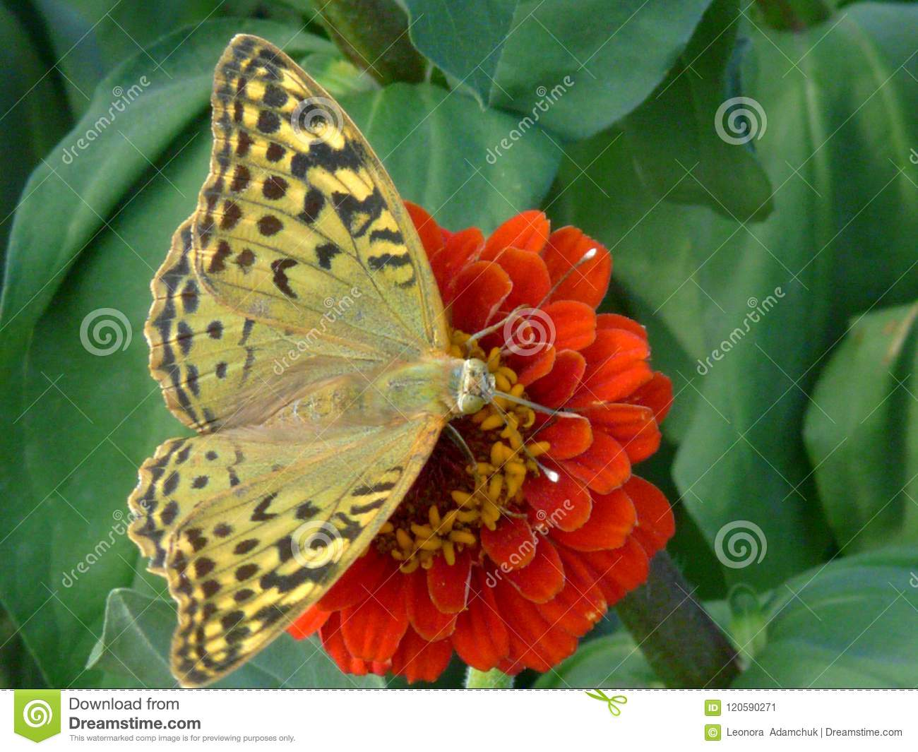 Butterfly of sand color on an orange flower