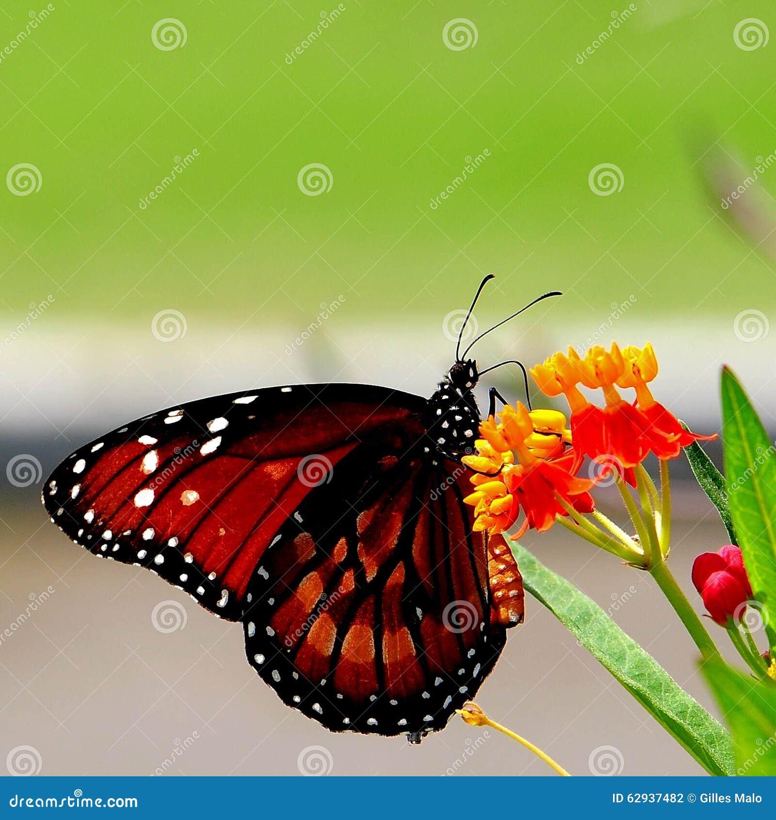 Butterfly on scarlet milkweed flowers