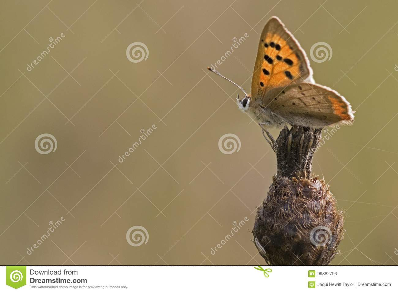 A butterfly on a seed head
