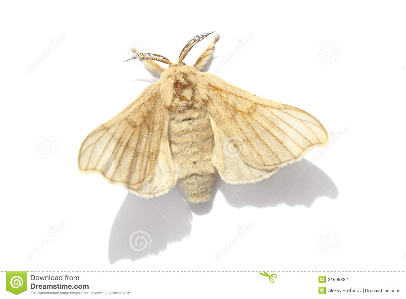 Butterfly of Silk moth stock photo. Image of insect ...