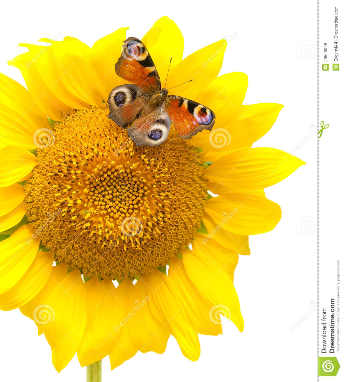 Butterfly Sitting On A Sunflower On A White Background ...