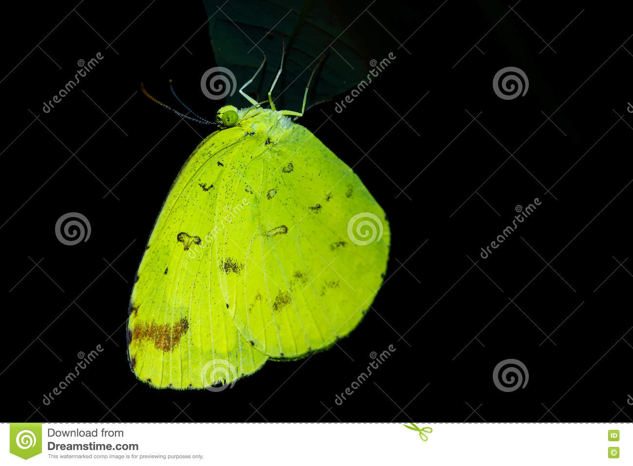 Butterfly Sleep At Night Stock Photo Image Of Leaf Neotropical