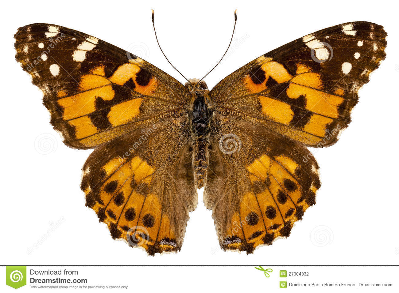 Butterfly Species Vanessa Cardui Stock Photo - Image: 27904932