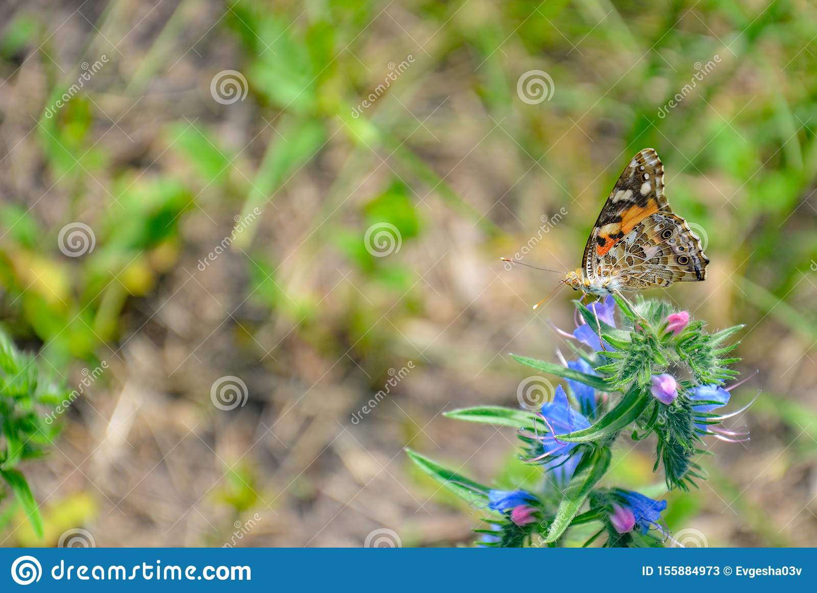 Butterfly Species Vanessa Cardui Stock Images - Download ...