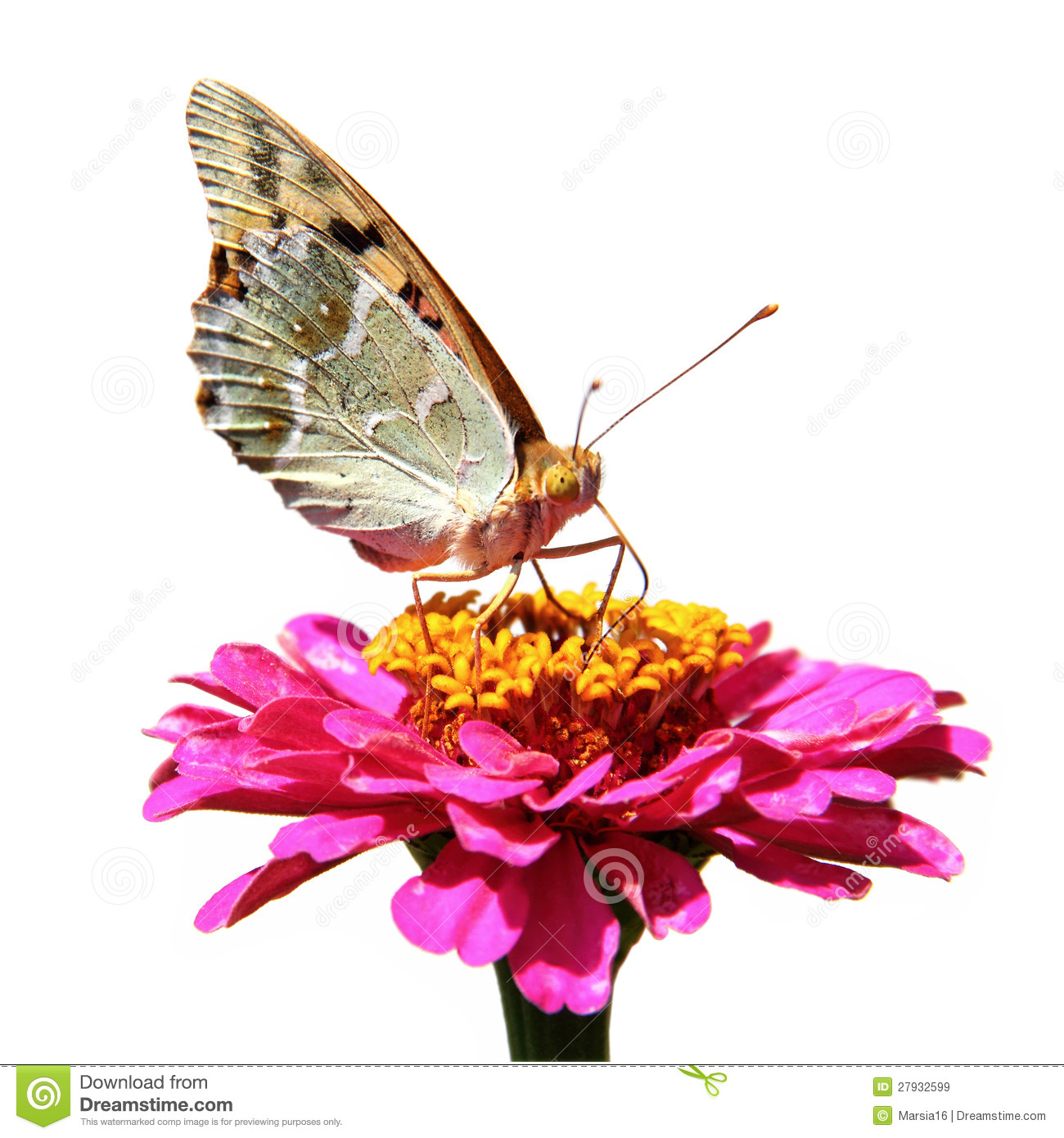 Butterfly Sucking Nectar Royalty Free Stock Images Image