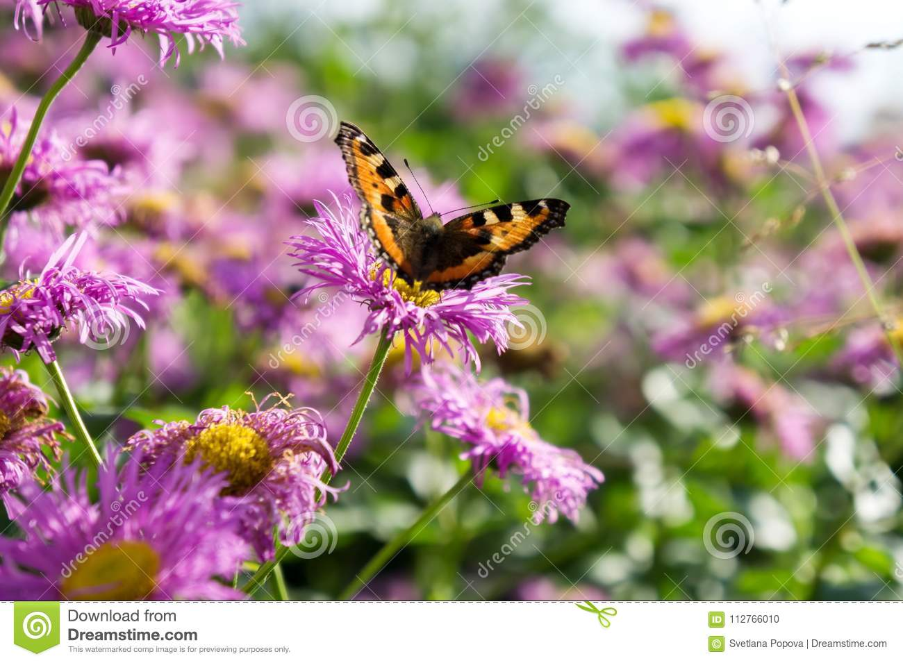 Butterfly Urticaria On The Pink Flower Of Perennial Asters In Early