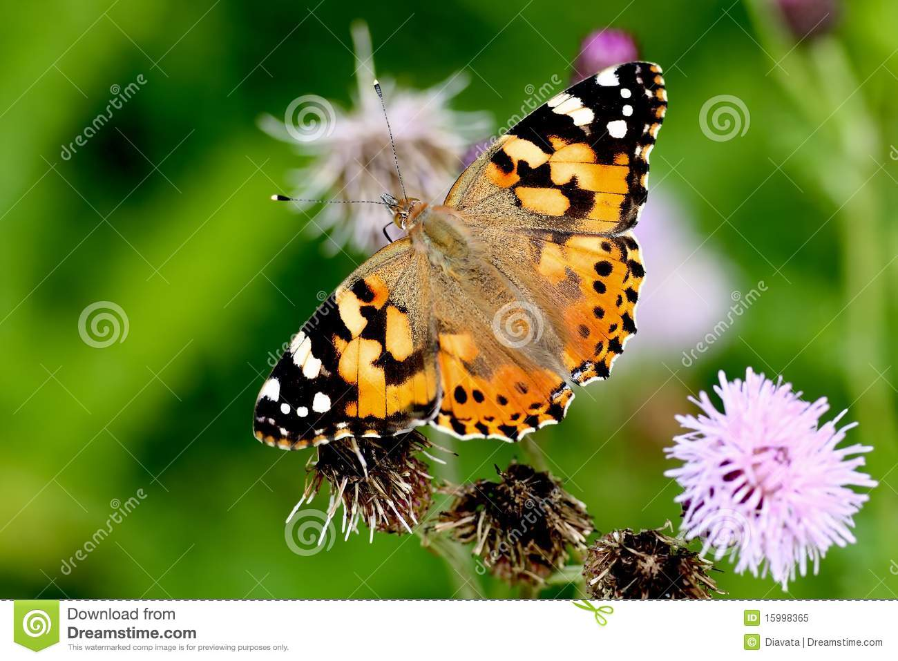 Butterfly (Vanessa Cardui) Royalty Free Stock Photo ...