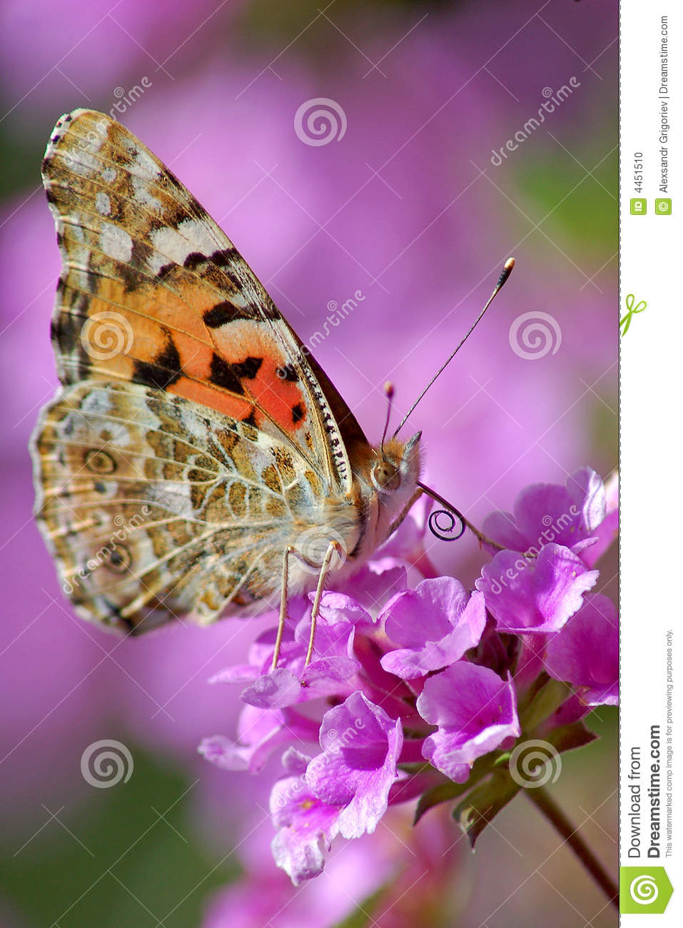 The butterfly Vanessa cardui