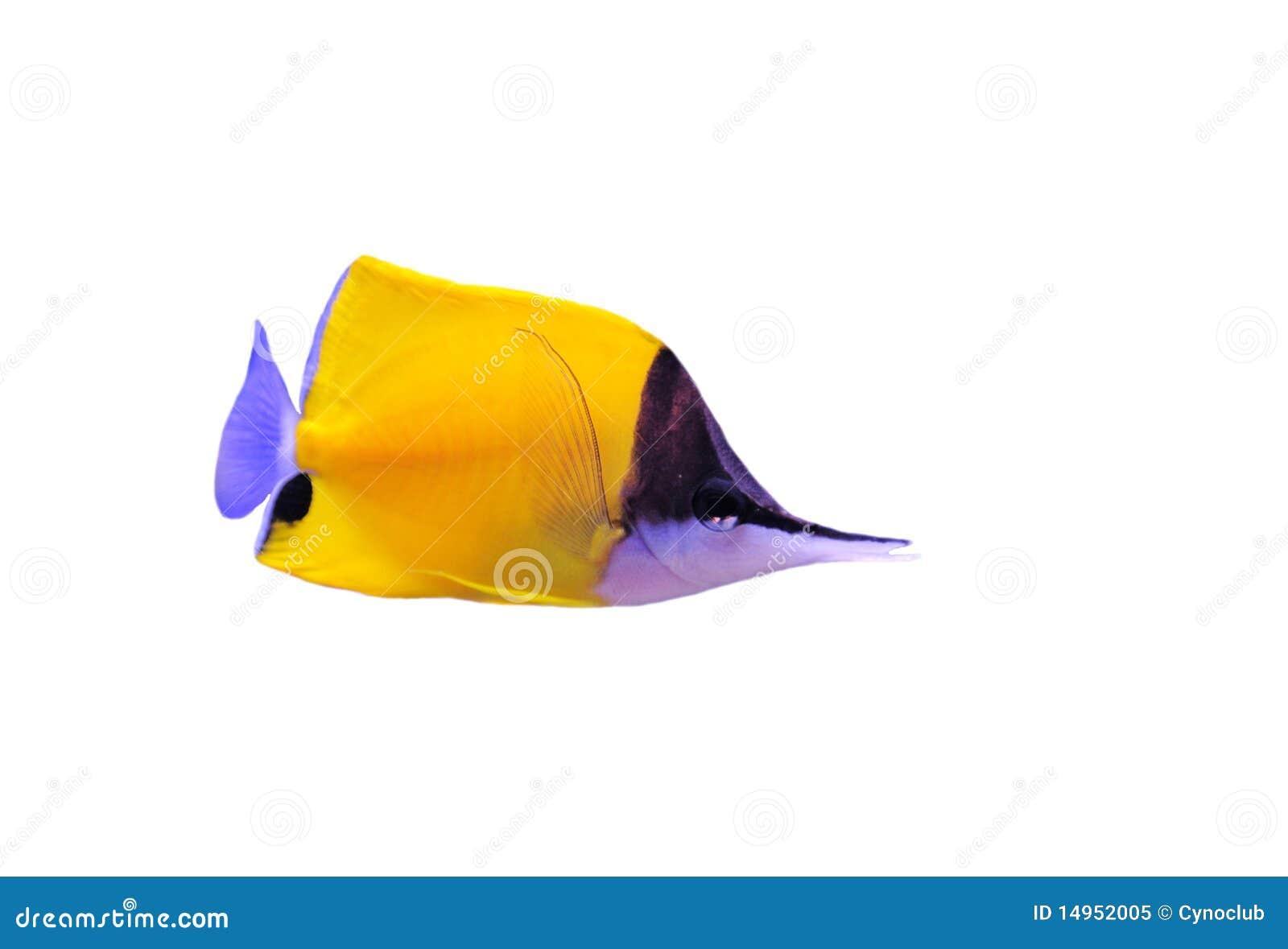 Butterflyfish长头黄色