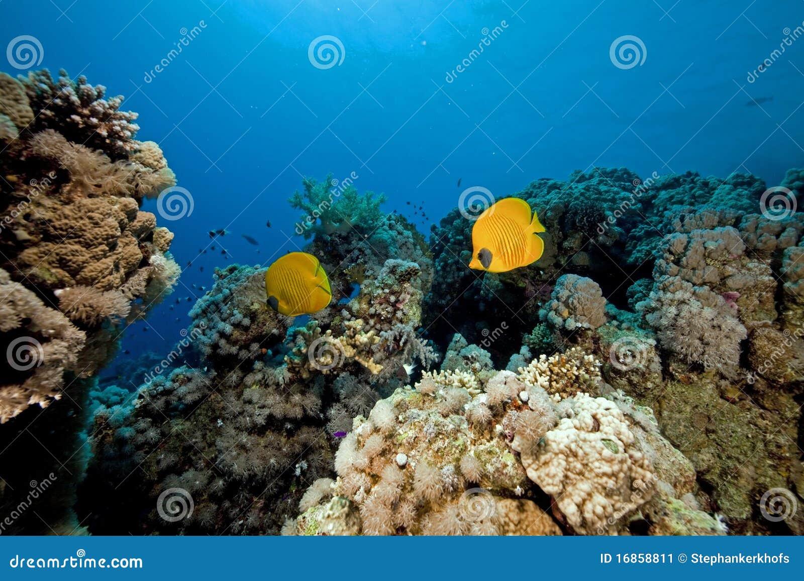 Butterflyfish no Mar Vermelho.