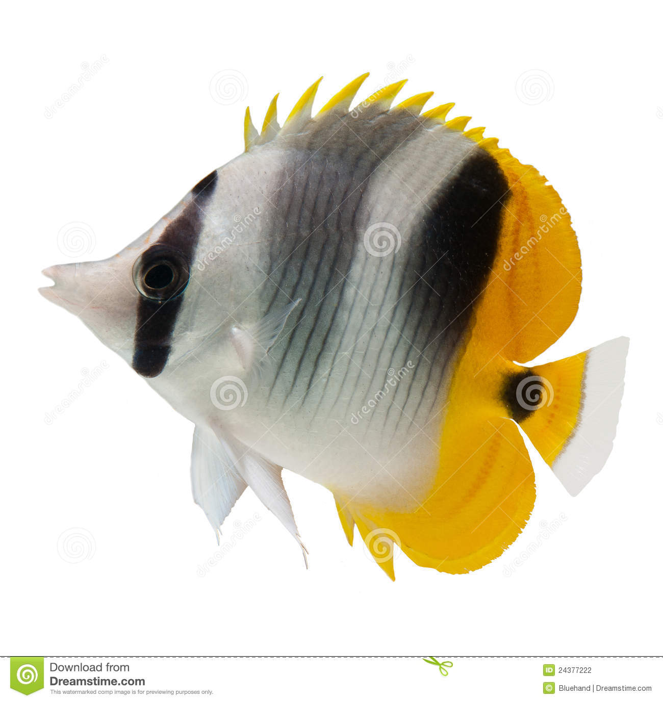 Butterflyfish Reef Fish On White Background Stock Photography - Image ...