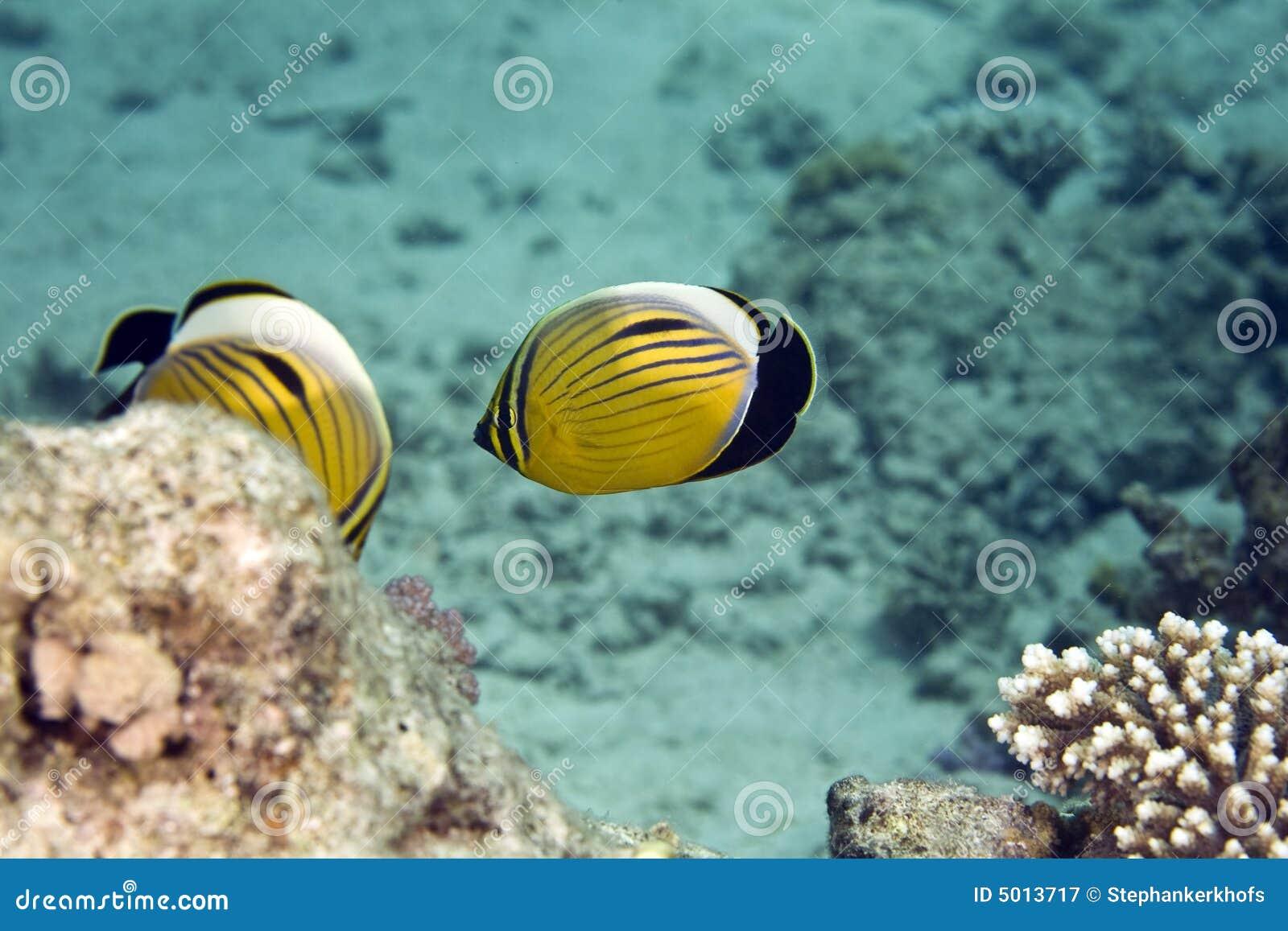 Butterflyfish squisito (paucifasciatus del chaetodon)