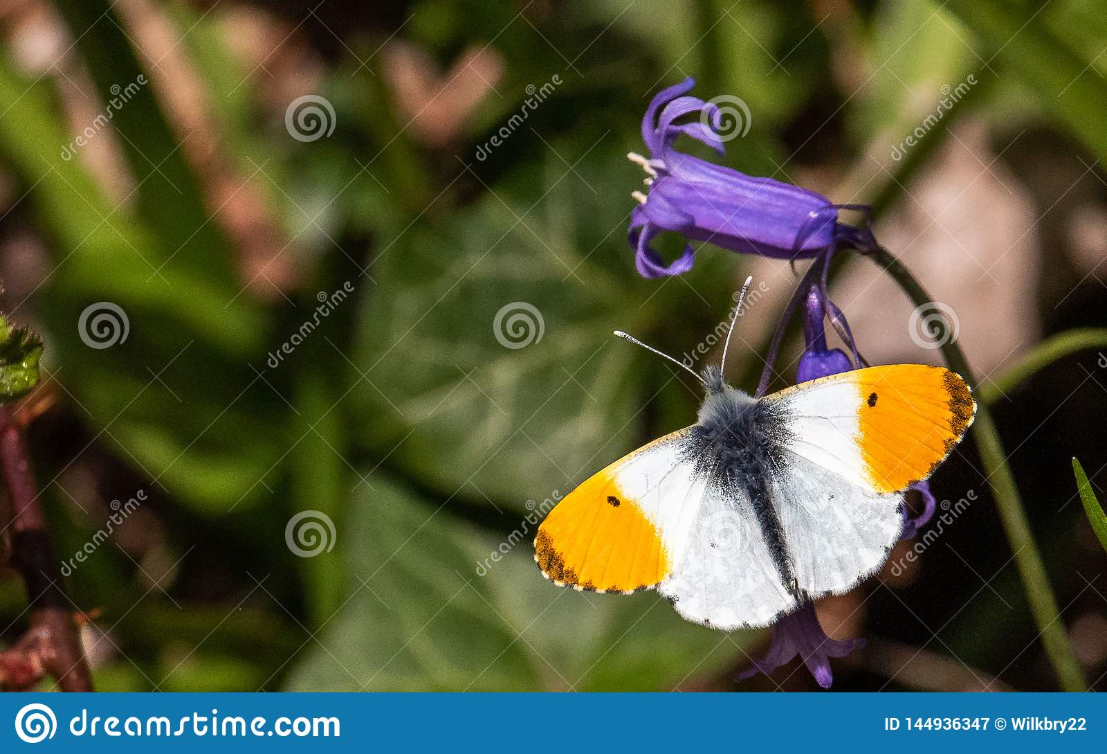 Butterfy die zijn zelf zont
