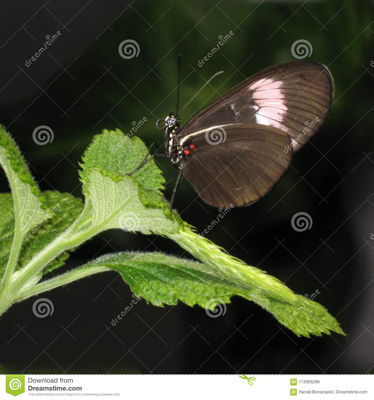 brown butterfly sitting on green leaf stock image image of