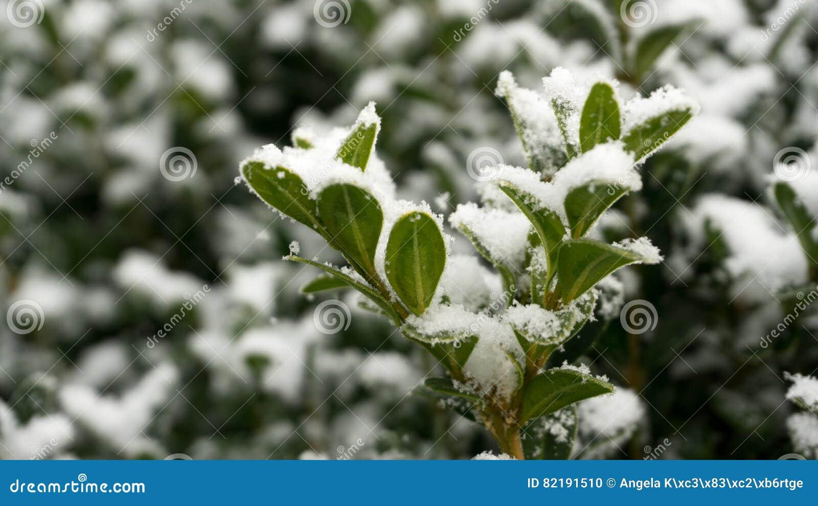 Buxo - no inverno com neve