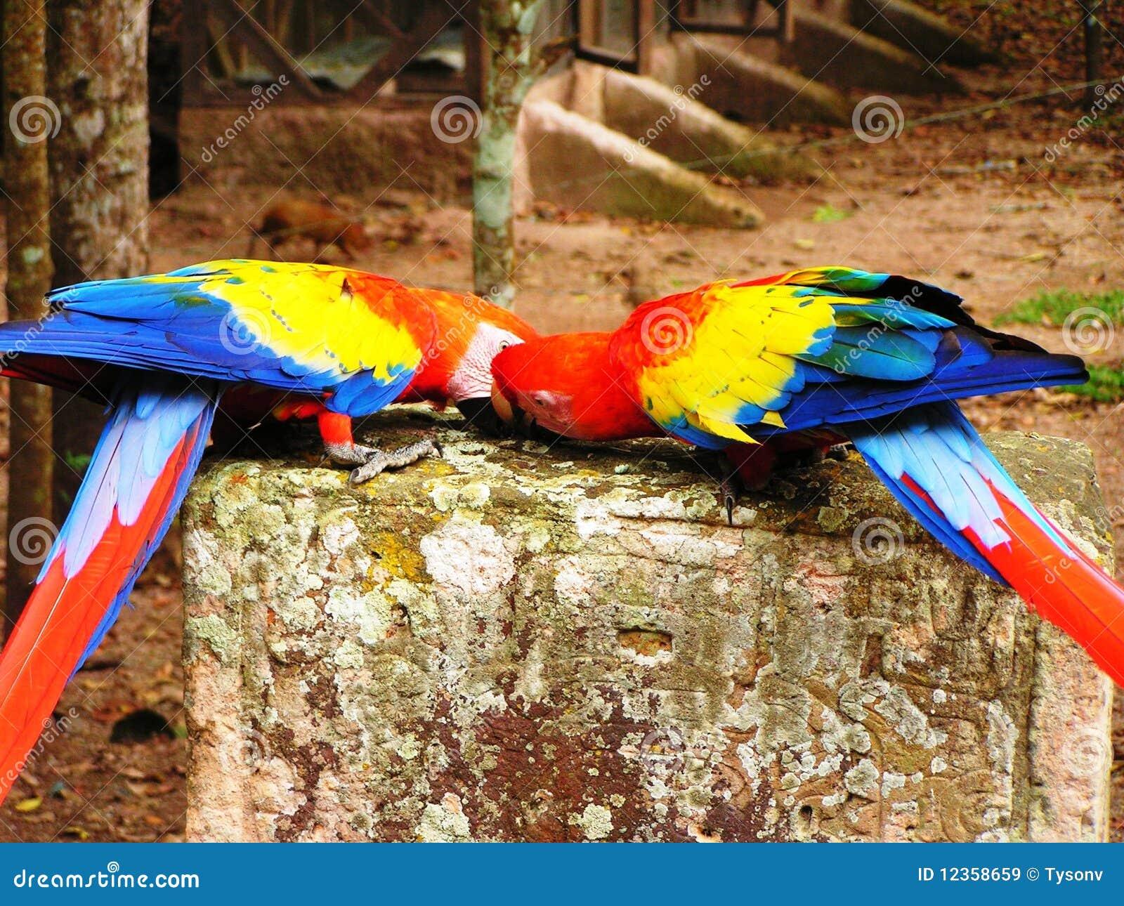 Buziak papuga
