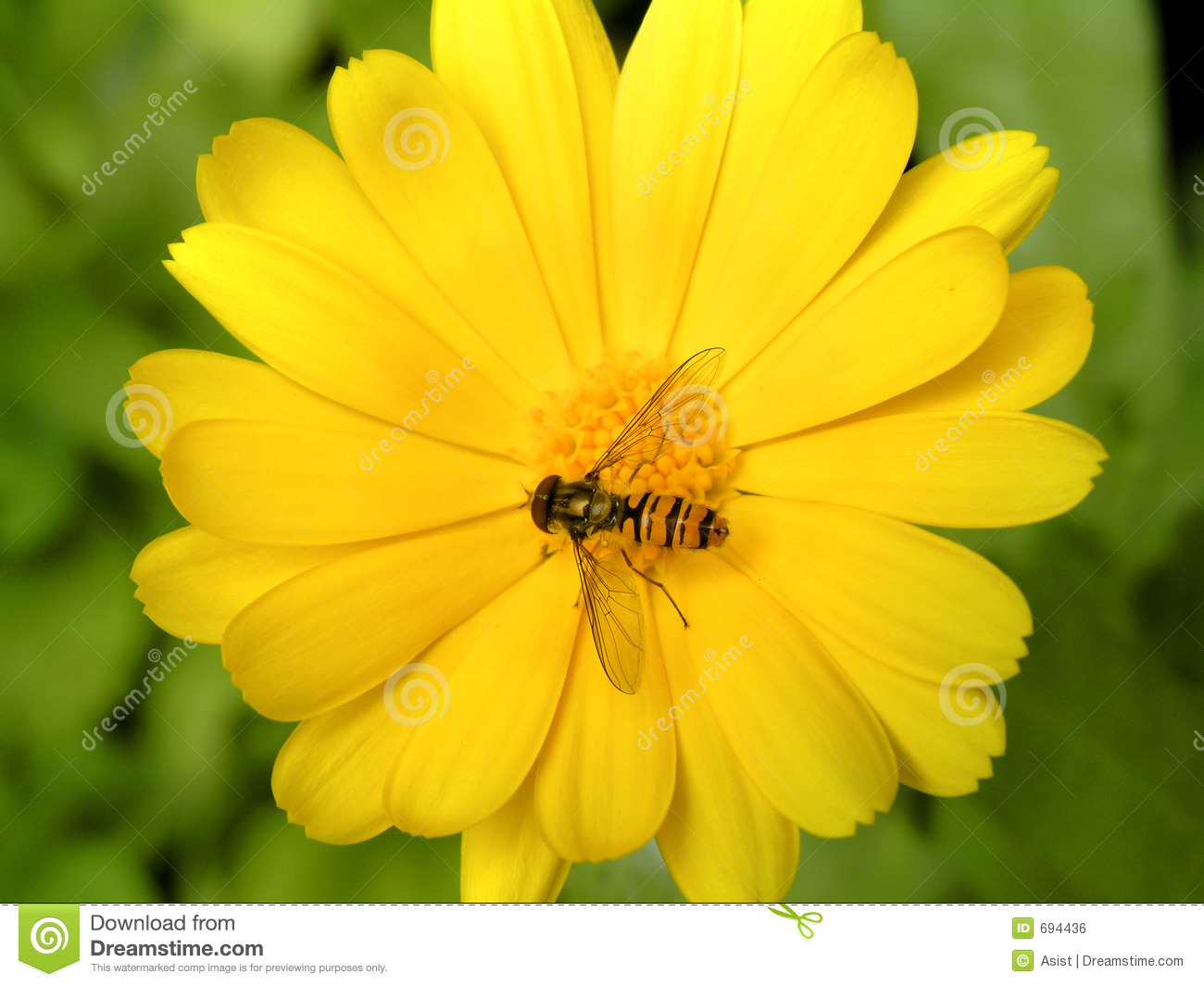 Buzz fly sitting on yellow marigold