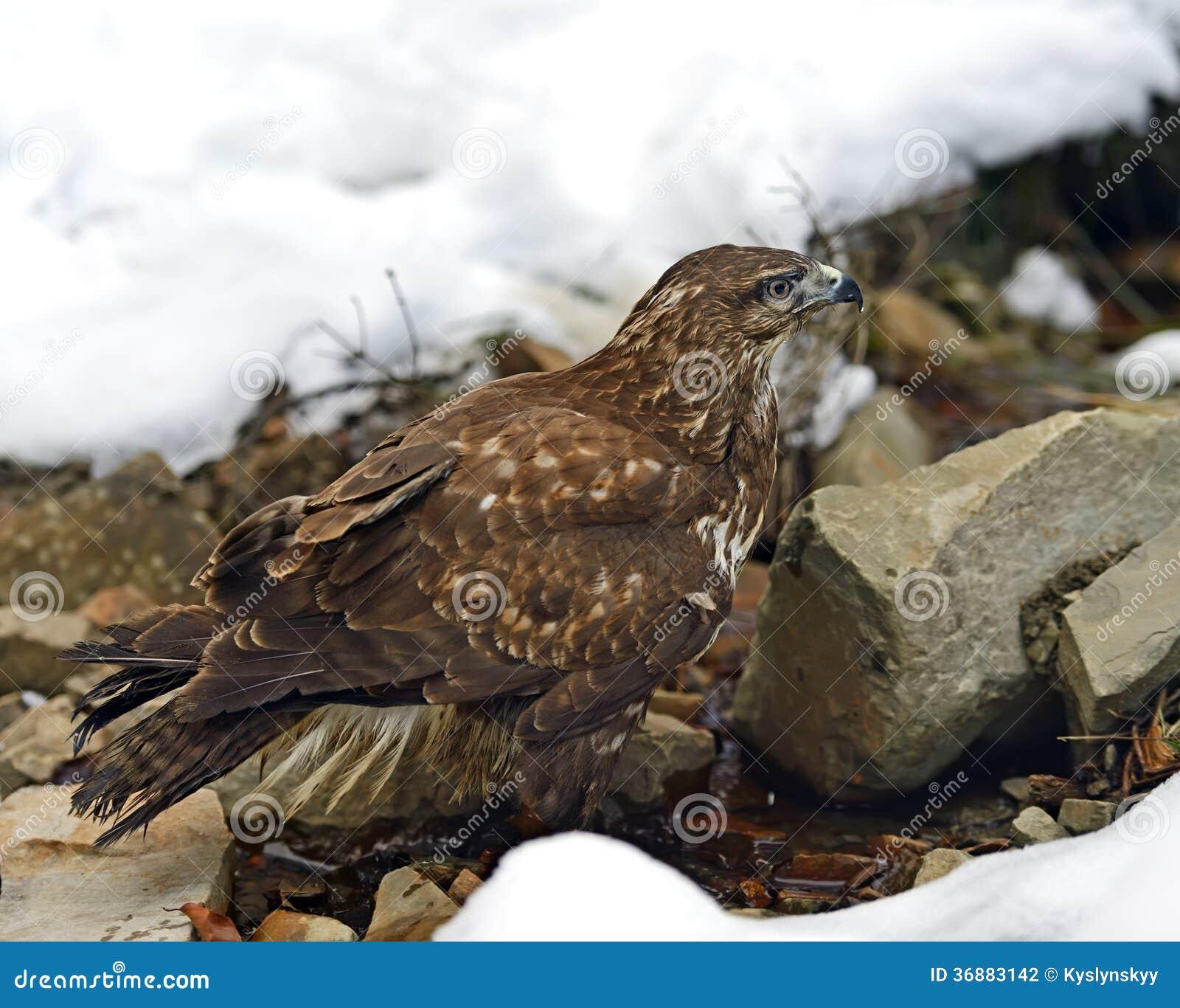 Download Buzzard fotografia stock. Immagine di uccello, harrier - 36883142