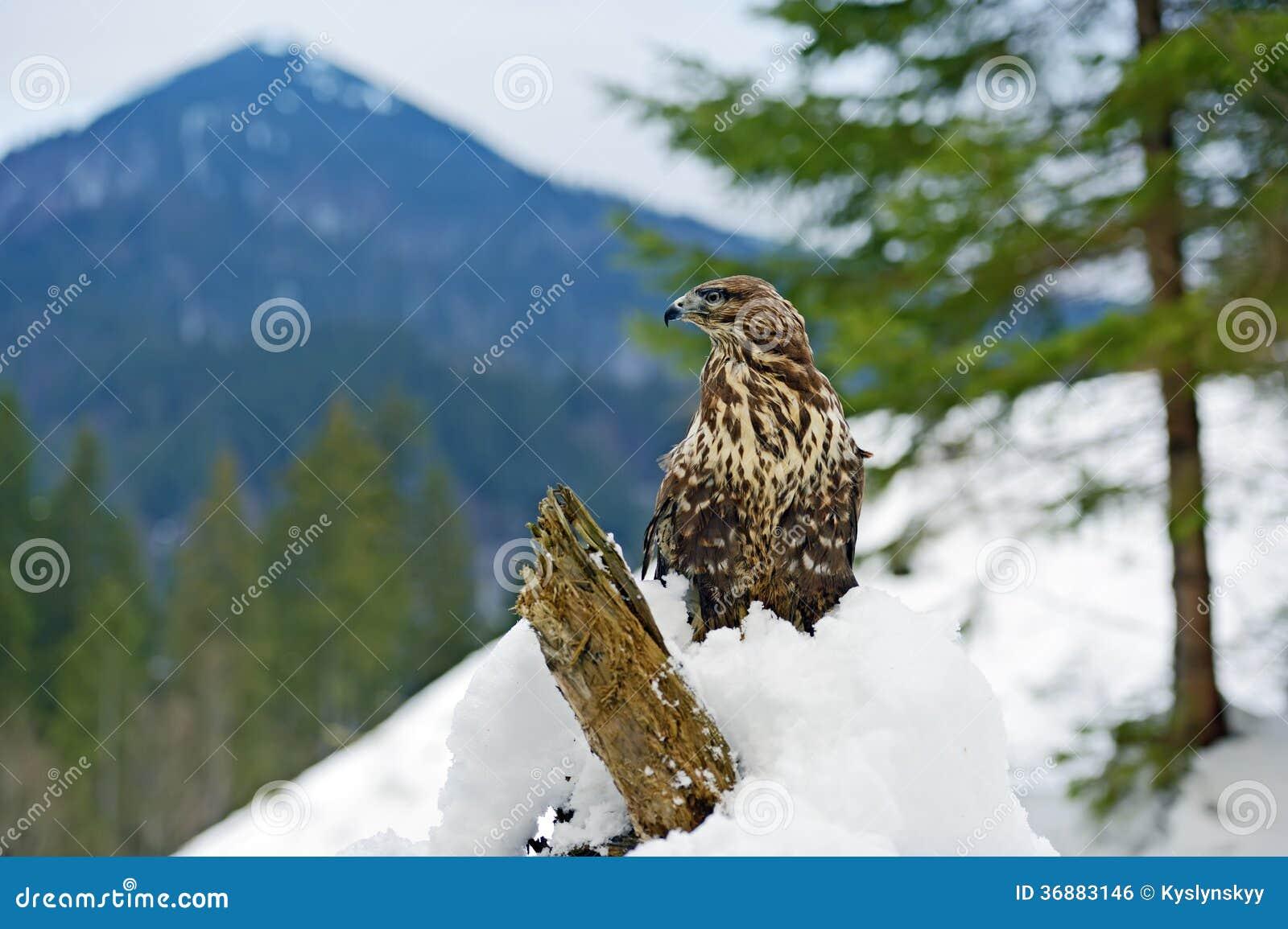 Download Buzzard fotografia stock. Immagine di neve, filiale, nave - 36883146