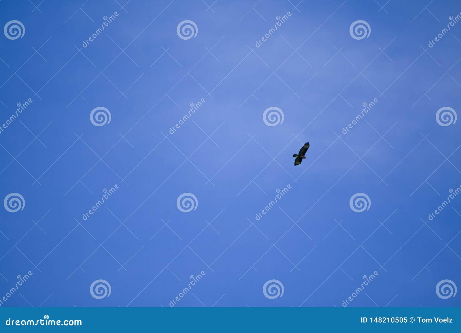Buzzard majestueux recherche sa proie du ciel