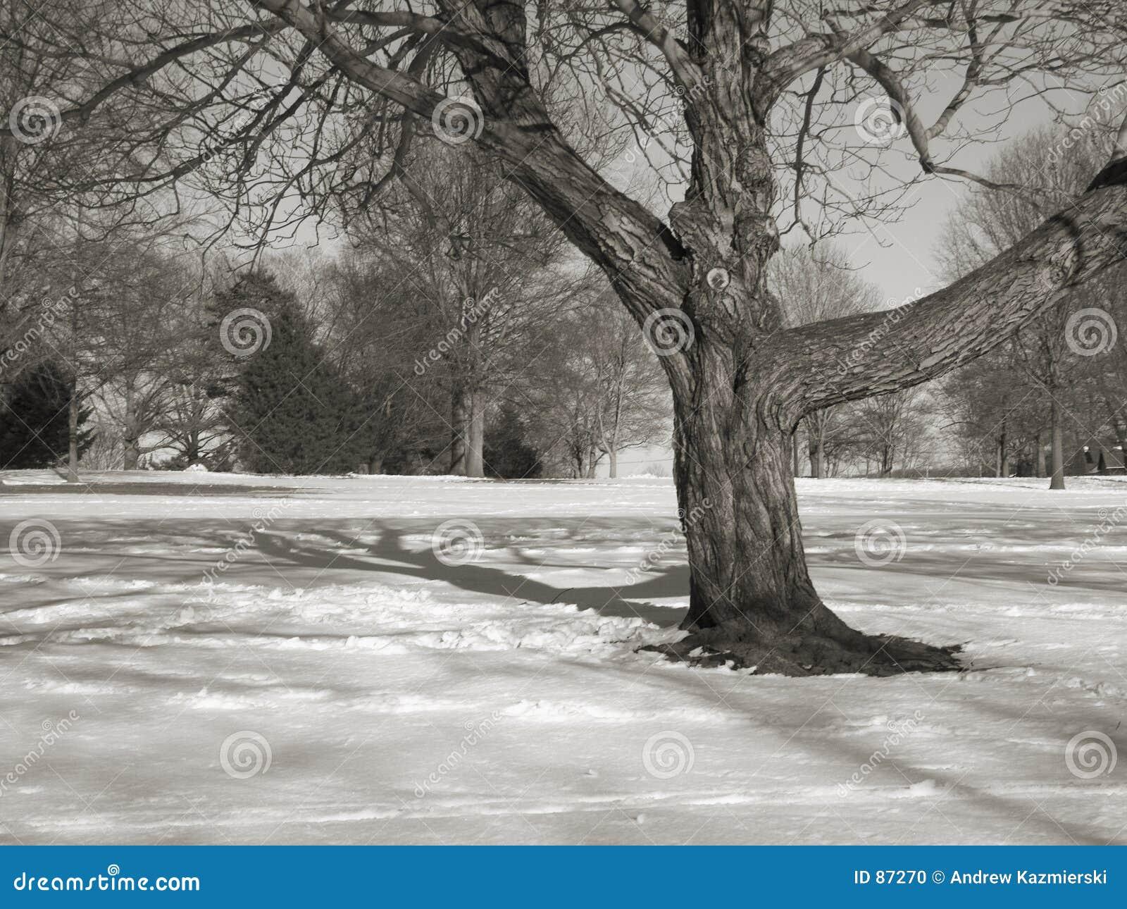 Bw pola drzewo
